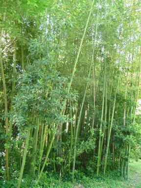 25.bamboo