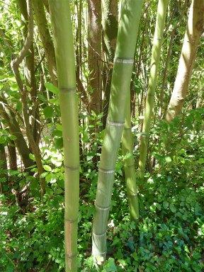 26.bamboo