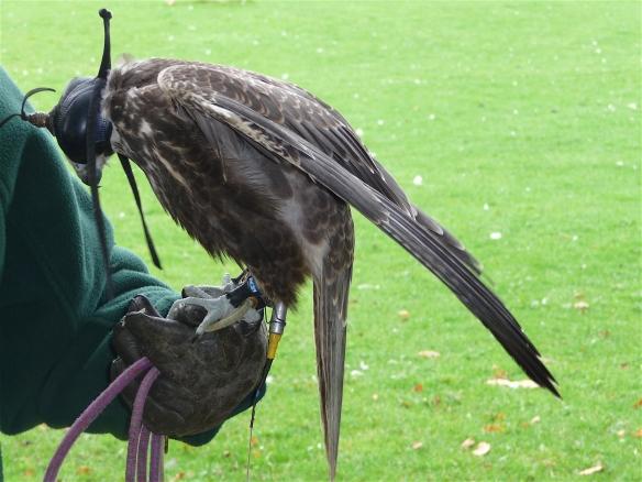 1.falcon