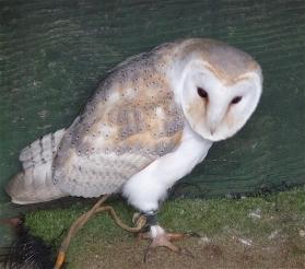 10.barn owl