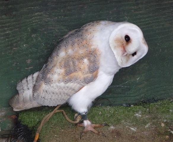 11.barn owl