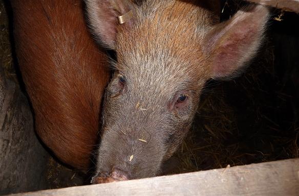 17.Pig