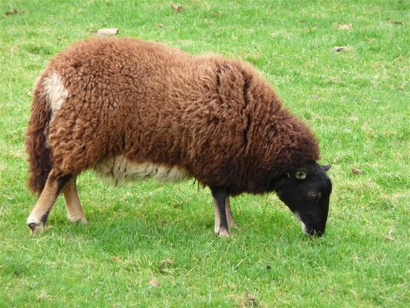 18.sheep