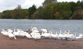 20.Mute Swans-Cosmeston Lakes