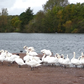 20.Mute Swans-Cosmeston Lakes