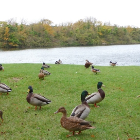 21.Ducks-Cosmeston Lakes
