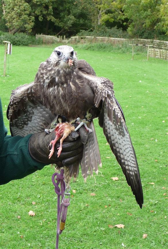 3.falcon