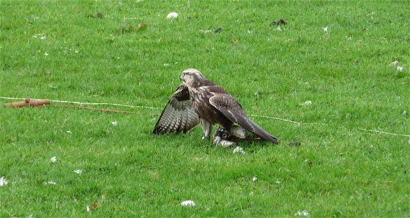 7.falcon