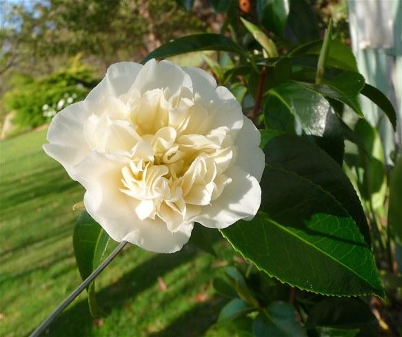18-white-camellia