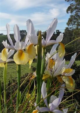 3-florentine-iris