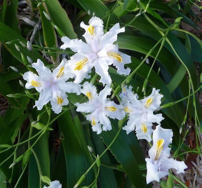 5-fairy-iris
