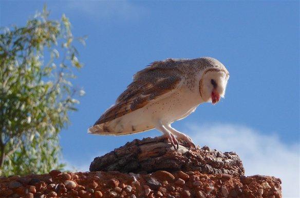 10-barn-owl