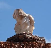 11-barn-owl