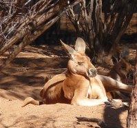 22-red-kangaroo