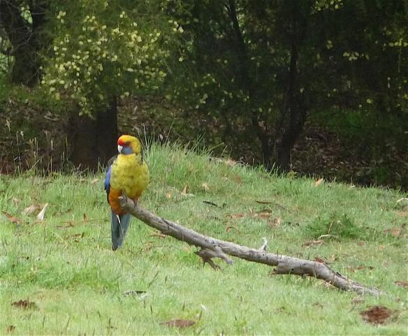 26-parrot