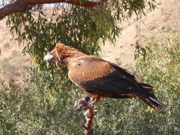 4-wedge-tailed-eagle