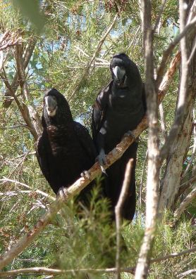 42-black-cockatoo
