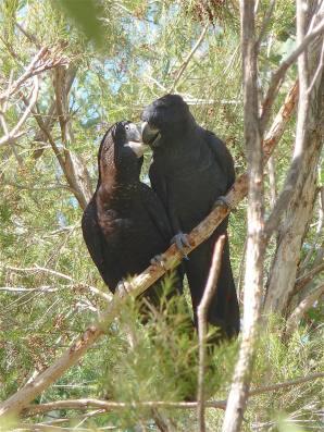 43-black-cockatoo