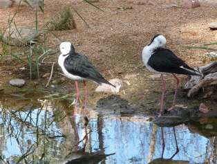 44-black-winged-stilt