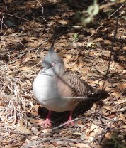 47a-crested-pigeon