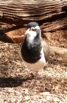 47b-banded-lapwing
