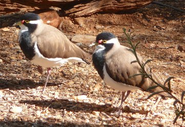 47c-banded-lapwing