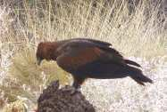5-wedge-tailed-eagle