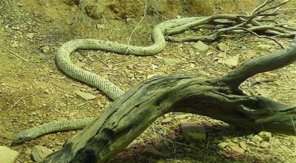 58-snake
