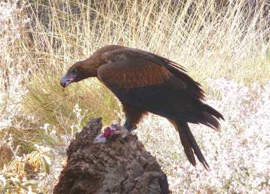 6-wedge-tailed-eagle