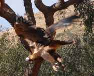 7-wedge-tailed-eagle
