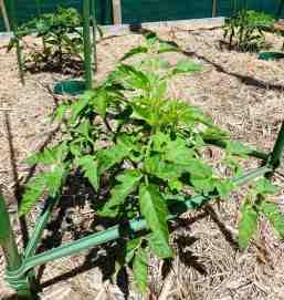 27-tomatoes