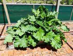 35-rhubarb