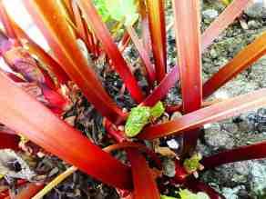 36-rhubarb