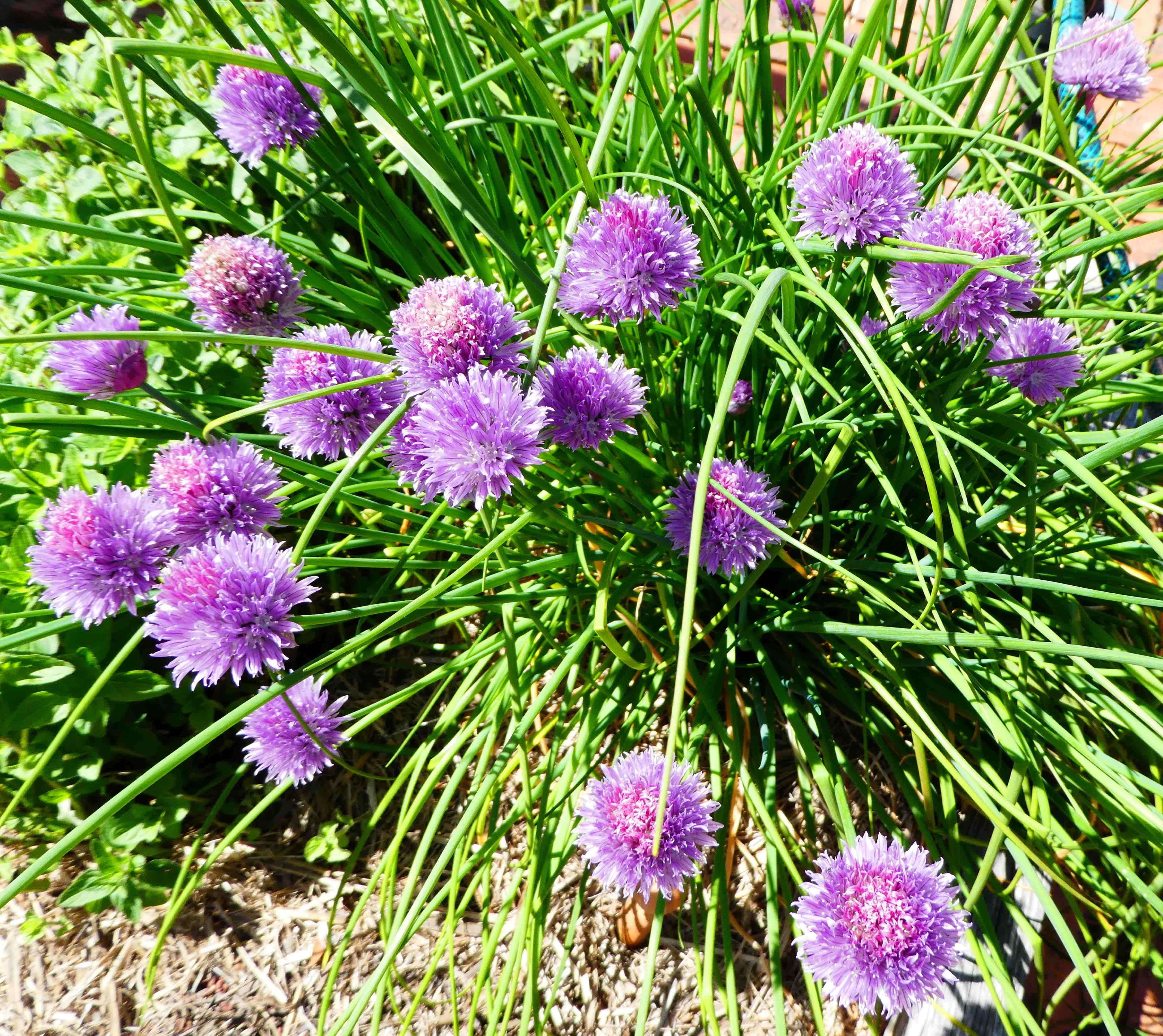 37-chive-flowers