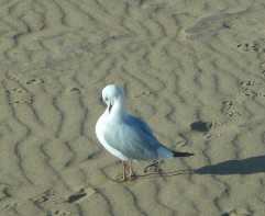 21-gull