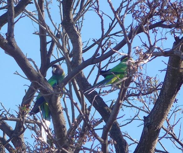 10-australian-ringneck-parrot