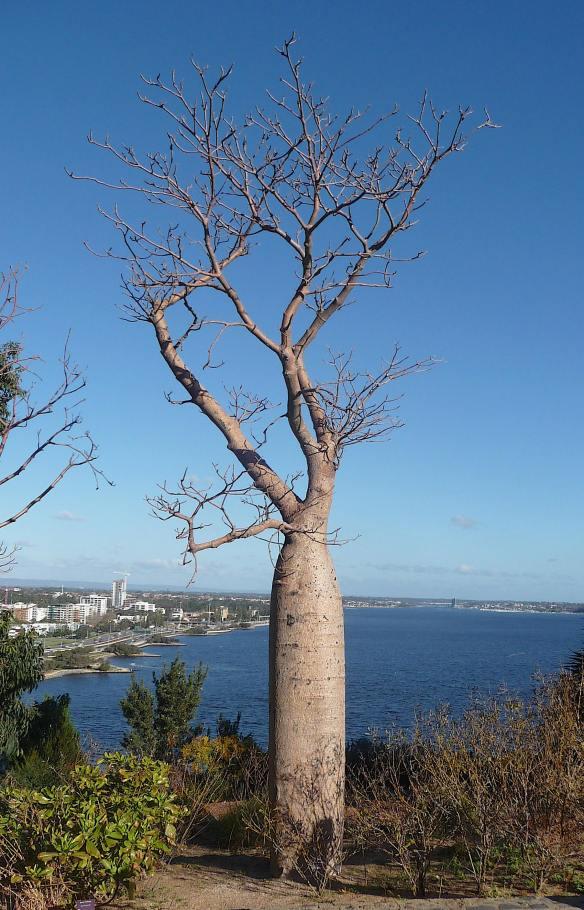 14-boab-tree
