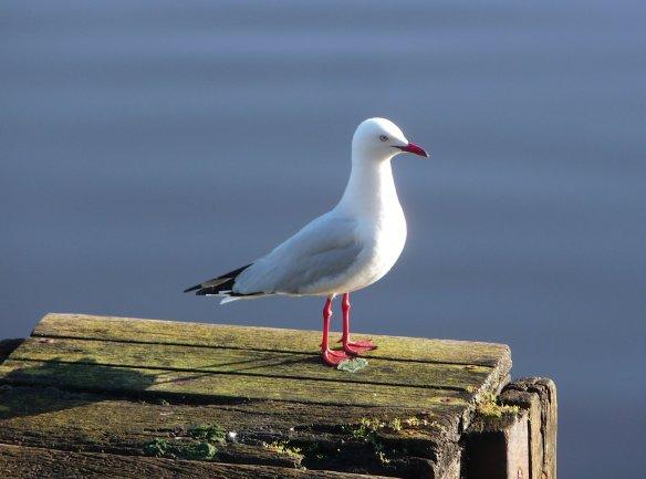 7-gull