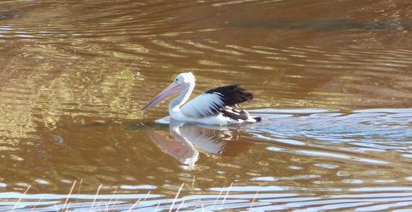 9-pelican