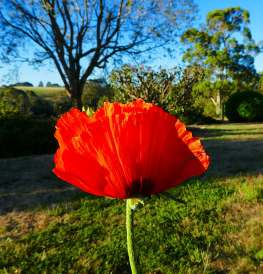 15.oriental poppy
