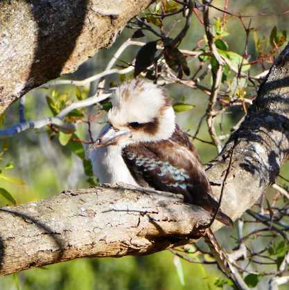 3.kookaburra