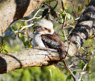 7.kookaburra