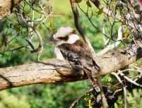 8.kookaburra