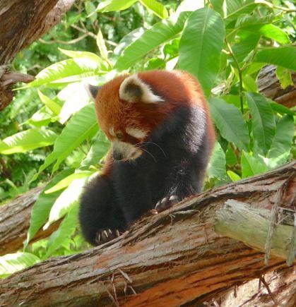 1.red panda