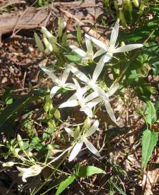 10.white clematis (Clematis pubescens)