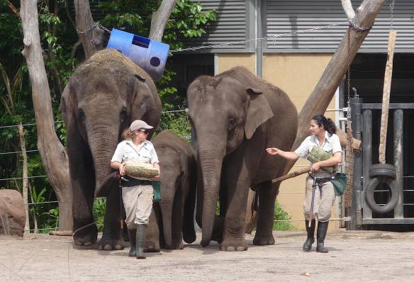 11.Asian elephants