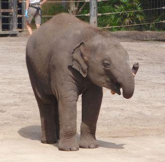 12.baby Asian elephant
