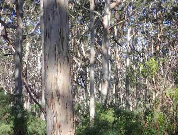 12.Karri forest