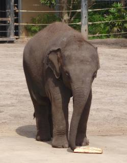 13.baby Asian elephant