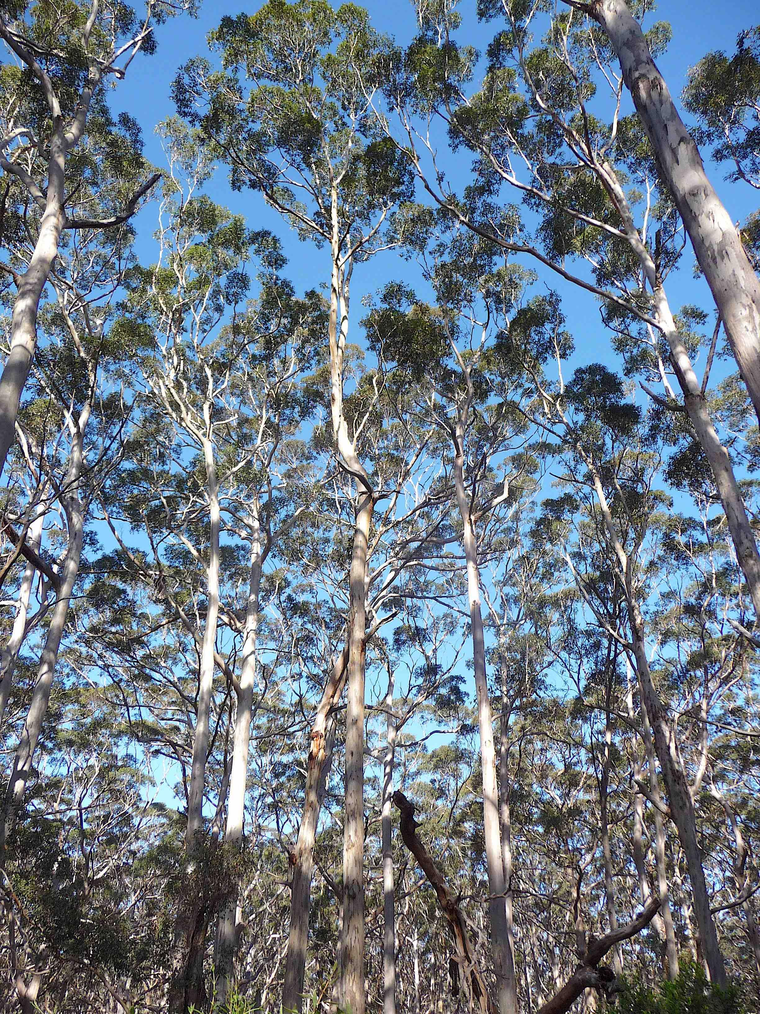 13.Karri forest